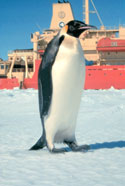 Emperor Penguin picture